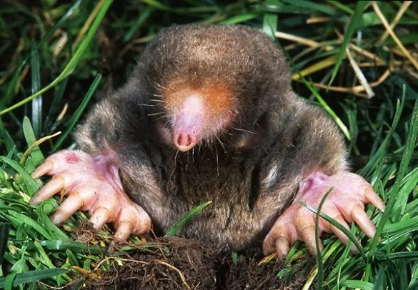 The eastern mole (Scalopus aquaticus) has its nostrils very closely separated, however it's been proven to be the first mammal to posses stereo smell. (c) Kenneth Catania, Wikipedia Commons