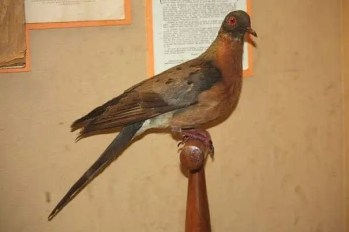 The passenger pigeon is a perfect example of how destructive humans can be. In the mid 1850, some 3.5 - 5 BILLION passenger pigeons existed. They went extinct in under 50 years, due to habitat loss and meat consumption.