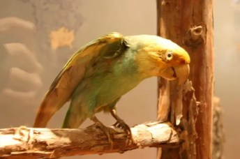 The Carolina Parakeet was the only parrot species native to the eastern United States. Out of all things, one of the main reasons why it went extinct is because of the demand for its colorful feathers to decorate ladies' hats.