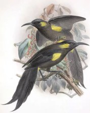 The Moho are a genus of extinct birds from Hawaii. Most of them died out because of habitat loss and hunting.