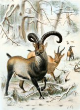 The Pyrenean ibex lived in Southern France and the Northern Pyrenees.