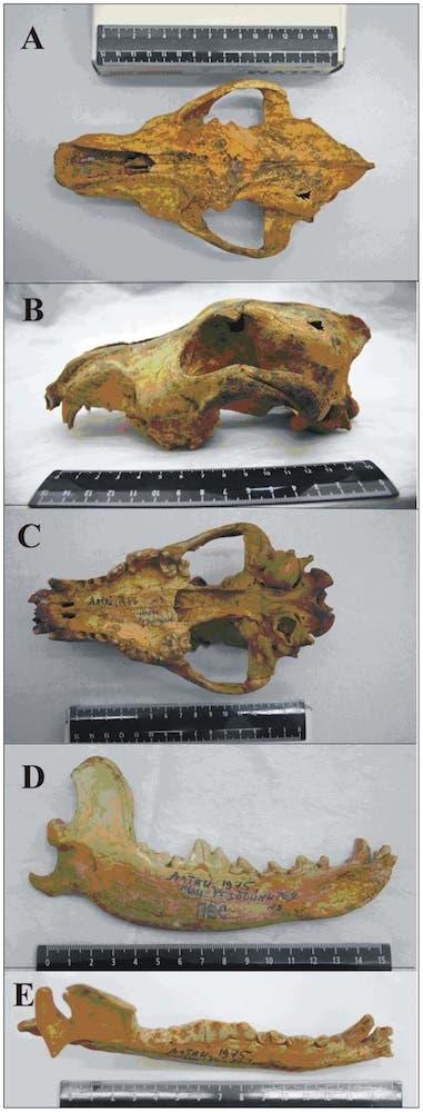 Altai dog fossil skull. (c) PLos ONE