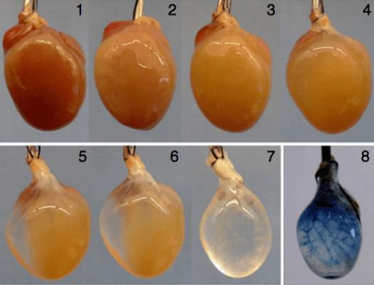 Decellularized Mouse Heart:  Lu et. al