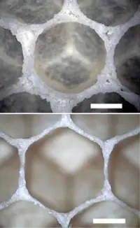 When first made, the comb cells of the Italian honeybee (Apis mellifera Ligustica) are circular (top), but after two days they already look more hexagonal (bottom). (c) Nature