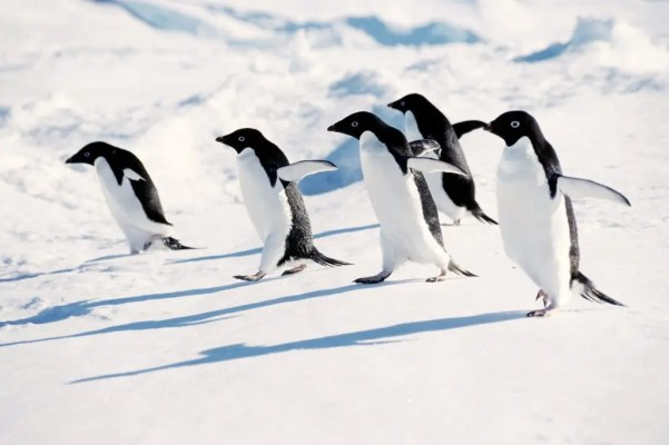 Adelie penguins going about their way. Photo :Peter & J. Clement/