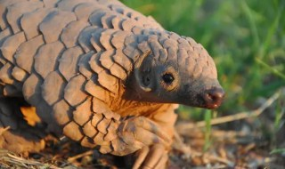 The Cape pangolin, pictured here, could become increasingly imperiled if trade moves from Asia to Africa. Photo by: Maria Diekmann/Rare and Endangered Species Trust.