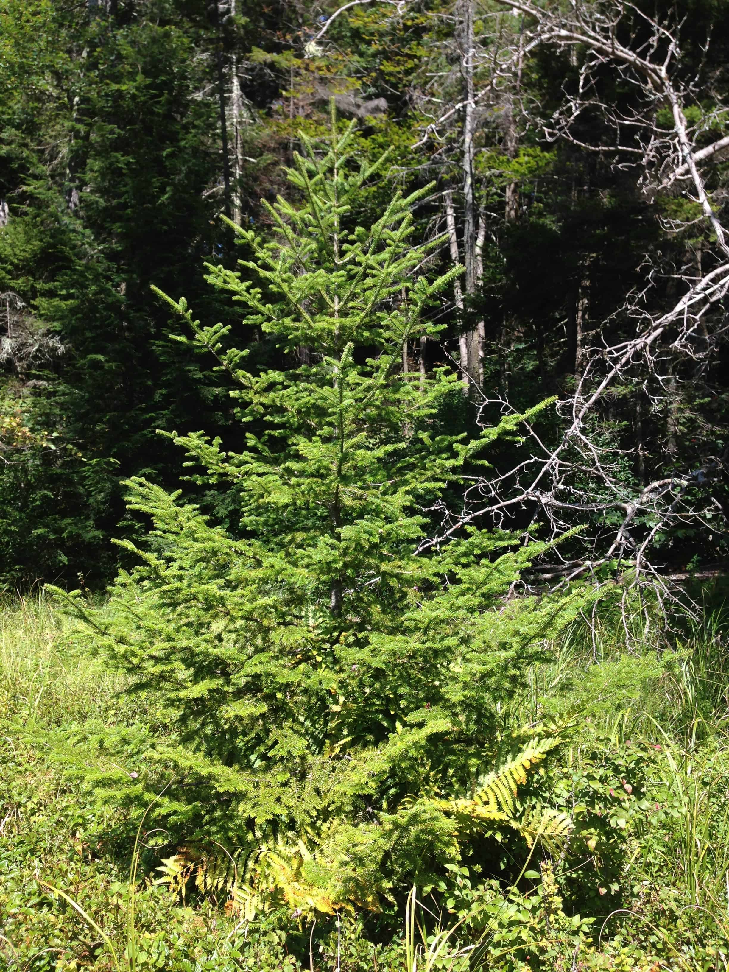 The different species of christmas tree and how to pick for Tree sapling