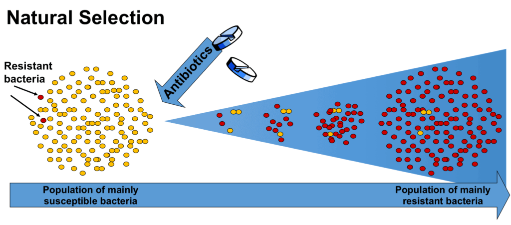 When antibiotics are introduced in a bacterial population, most of the population dies but some resistant bacteria may survive. These resistant bacteria will continue to proliferate despite the presence of the antibiotic. In time, their population will increase until it becomes comprised mainly of resistant bacteria. Credit: ReActGroup.