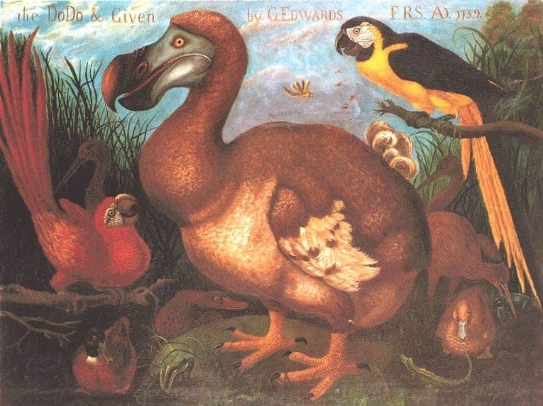 The dodo & given by G.Edwards 1759. Credit: Wikimedia Commons.