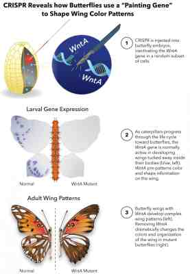 Schematic describing the CRISPR gene-editing technology used to investigate the key gene that determines butterfly wing patterns. Credit: The George Washington University