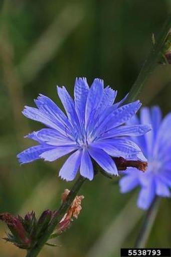 синя жлъчка