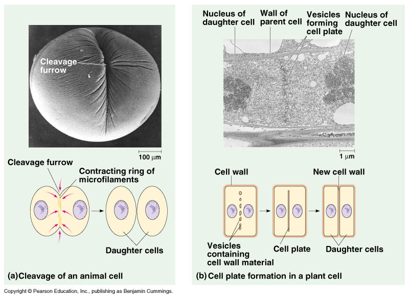 diagram of mitosis an animal cell ups electrical wiring how cells divide