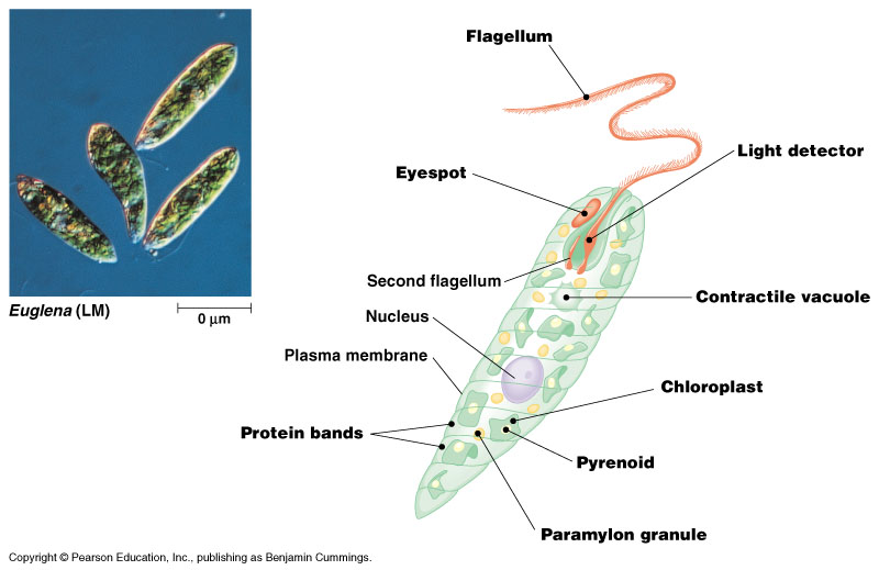 euglena cell diagram with labels parts of the globe theatre protists most are unicellular fig 28 3