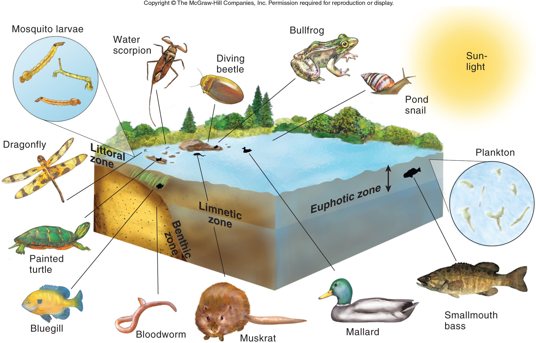 freshwater biomes food chain diagram 2004 honda odyssey ac wiring ponds and lakes monica carter publish with glogster