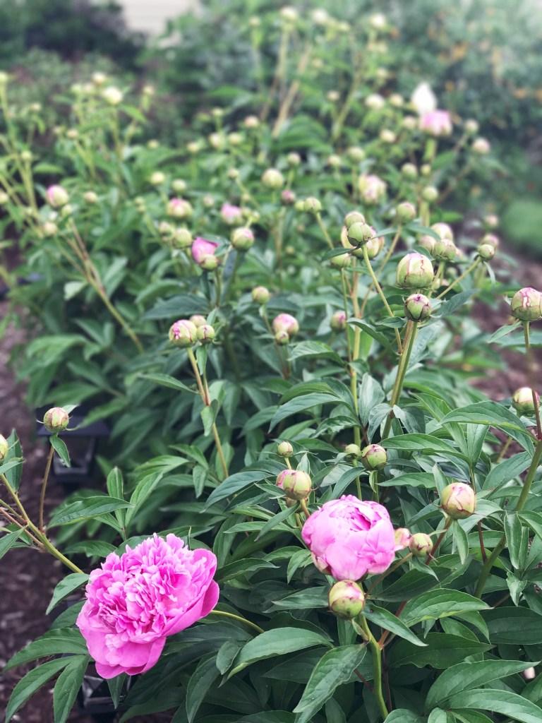 Tips For Growing Peonies In Your Garden Zoe With Love