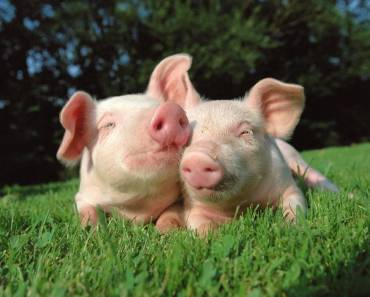 ¿Qué te parecería tener a un cerdo como donante de órganos?