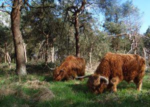 Foto Schotse Hooglanders