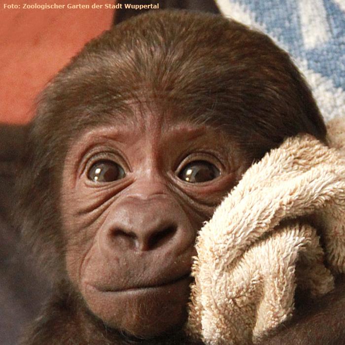 wwwzoowuppertalnet  GorillaBaby TEBOGO