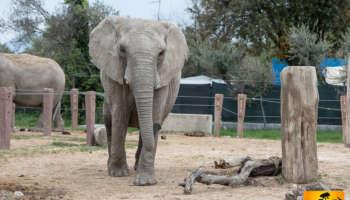 elefante-africano_big