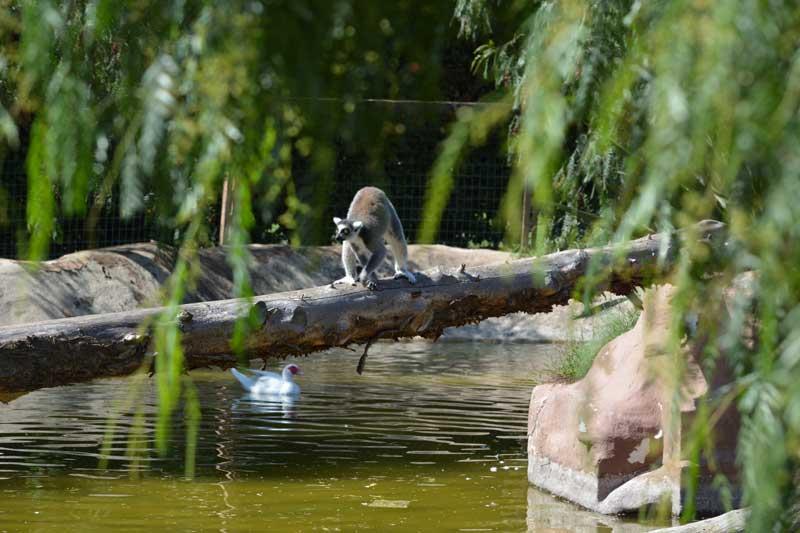 lemure catta leonardodelfini zooabruzzo