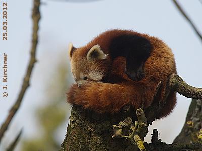 Roter Panda Schmiding