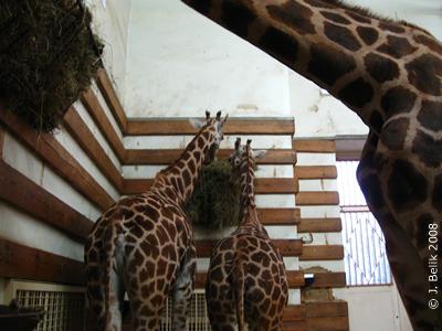 Giraffenbaby Akasha (rechts)