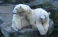 Arktos & Nanuq, 1 Jahr alt, 2. Dez 2008