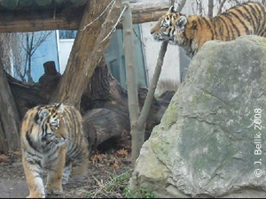 Die Tigerzwillinge, 25. Dez 2008