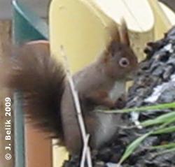 Eichhörnchen beim Nashornpark, 20. Januar 2009