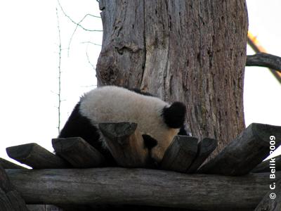 Fu Long beim kleinen Panda Nickerchen, 8. Januar 2009