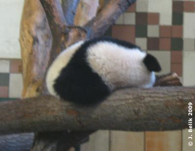 Fu Long auf seinem Lieblingsschlafplatz, 20. Januar 2009