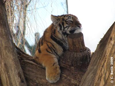 Eines der Tigerzwillinge, 16. Januar 2009