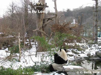 Yang Yang und Fu Long, 16. Januar 2009