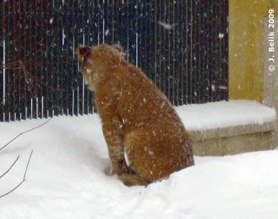 Eines der Löwendrillinge, 18. Februar 2009