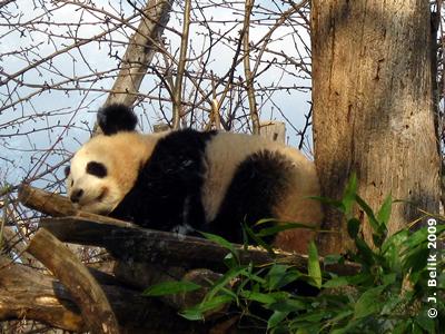 Pandabub Fu Long, 19 Monate alt, 21. März 2009