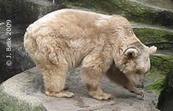 Syrischer Braunbär, 15. Mai 2009