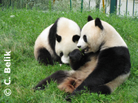 Pandas beim Gras-fressen