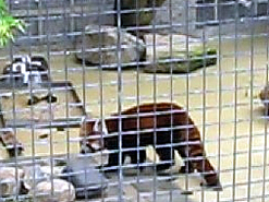 Roter Panda, 26. Juli 2009