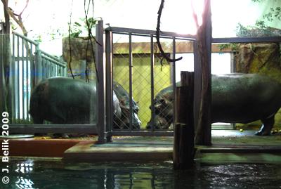Zufriedene Flußpferd-Familie, 19. November 2009