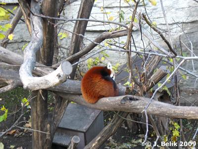 Einer der beiden Roten Pandas, 12. November 2009