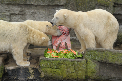 Arktos, Nanuq und Mama Olinka beschnüffeln neugierig ihre Eis-Torte, 28. November 2009 (Foto: Tiergarten Schönbrunn/Norbert Potensky)