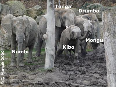 Die Elefanten beim ersten Treffen in der AUßenanlage, 7. Dezember 2009