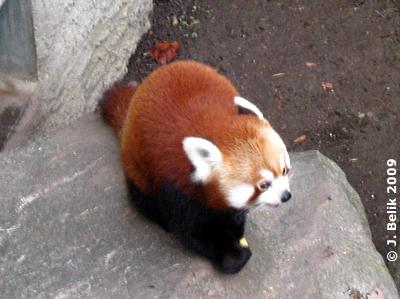 Roter Panda, 29. Dezember 2009