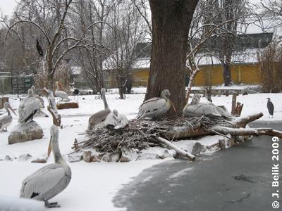 Pelikane, 19. Dezember 2009