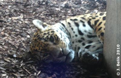 Neugierige Katze = Jaguar, 22. Jänner 2010
