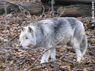 Senior Wolf, 31. Dezember 2009