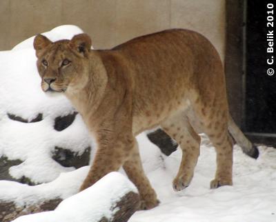 Das muß ich mir aus der Nähe anschauen, eines der Löwenmädl, 12. Februar 2010
