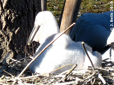 Pelikan-Küken, 25. Februar 2010