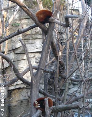 Rote Pandas, 25. Februar 2010