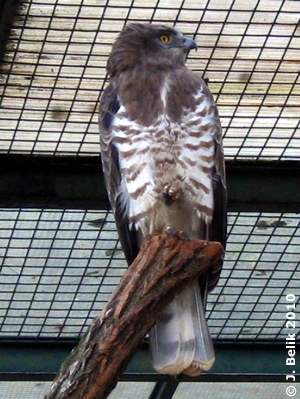 Schlangenadler, 25. Februar 2010